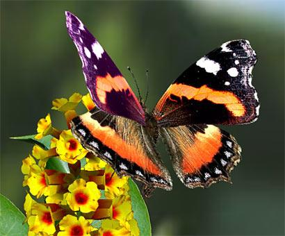 Ricetta Farfalla – Bevande
