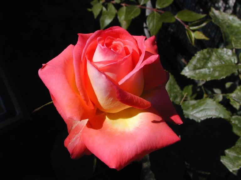 Ricetta Fior Di Rosa – Bevande