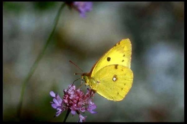Ricetta Farfalle Gialle – Primo
