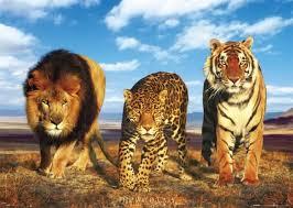 foresta tropicale: felini a rischio