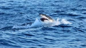squalo bianco a sydney