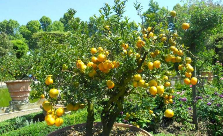 Come coltivare i limoni in casa donne magazine for Coltivare limoni