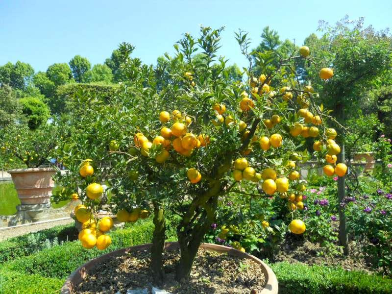 Come coltivare i limoni in casa