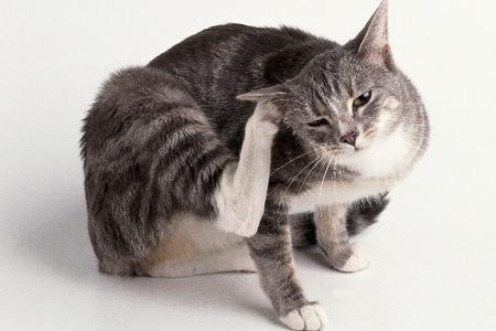 Come pulire le orecchio del gatto?