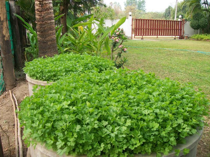 Come coltivare il prezzemolo