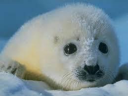 Clima più caldo in Antartide causa la diminuzione delle foche