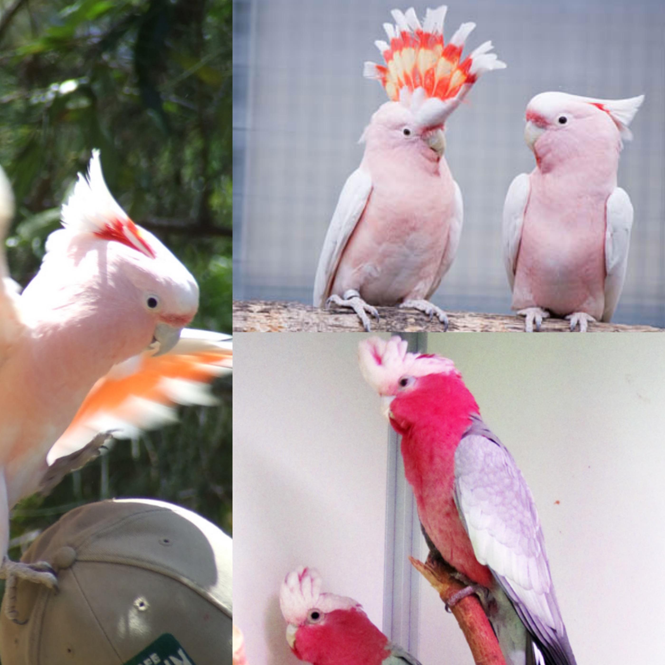 Come ricreare habitat naturale in casa per pappagallo Cacatua