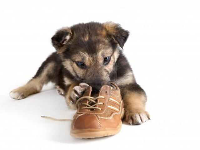 Perchè i cani mangiano le pantofole