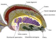 Clitoride come è fatto