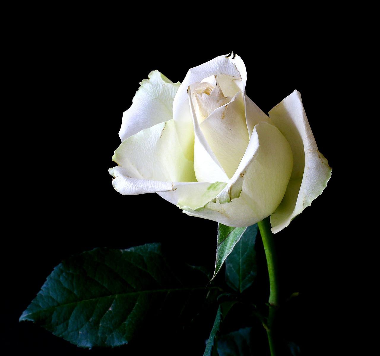 Ha Fiori Bianchi E Rosa.Qual E Il Significato Dei Fiori Bianchi
