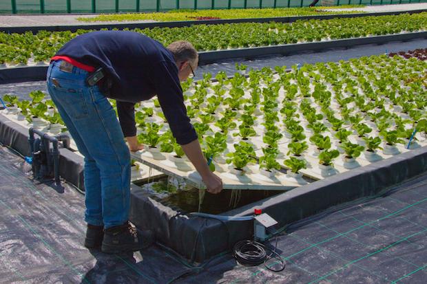 Coltivazione idroponica, come farla in casa