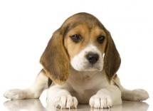 beagle1 622x402