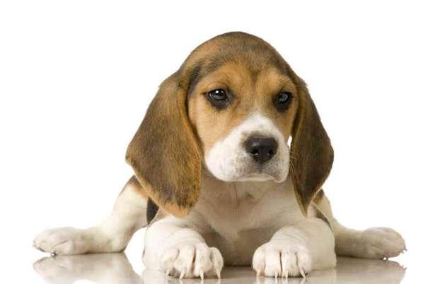 Cani taglia grande a pelo corto