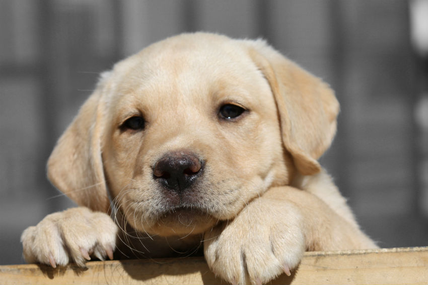 Quanto deve mangiare un cucciolo di cane labrador