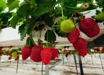 Coltivazione idroponica, come coltivare fragole senza terra