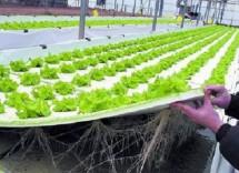 Coltivazione idroponica: cole coltivare la lattuga senza terra