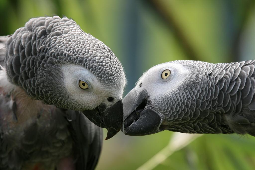 Cosa mangia il pappagallo cenerino