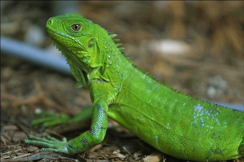 Cosa mangia l'iguana verde