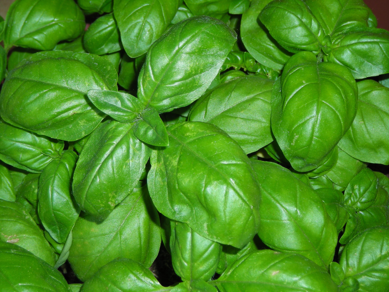 10 modi alternativi per usare le foglie di basilico
