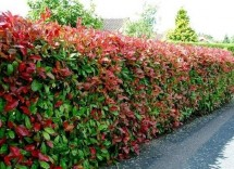 Come potare una siepe di photinia