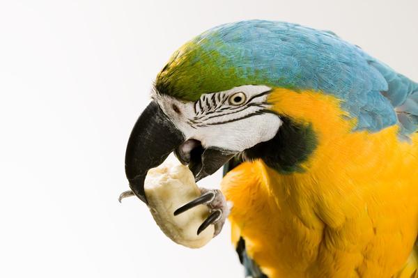 Cosa mangia il pappagallo Ara