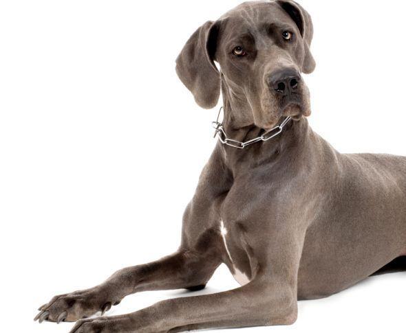 Patologie più frequenti cani razza alano