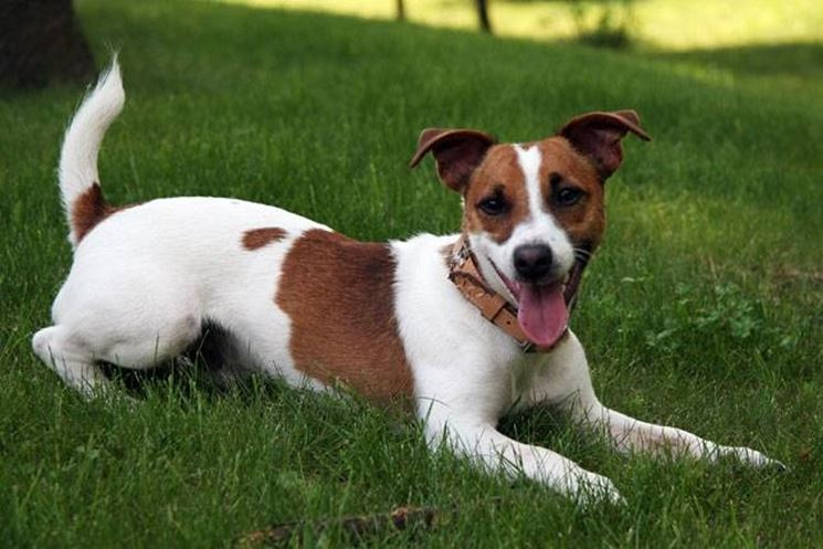 Caratteristiche carattere del jack russell