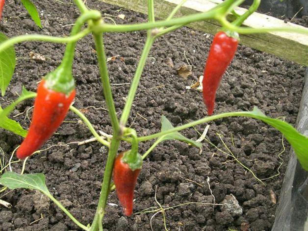 Come coltivare in casa i peperoni