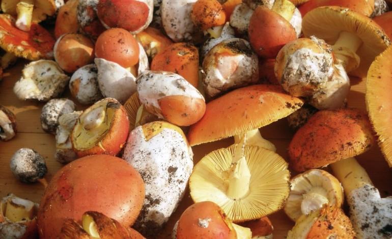 Come cucinare funghi ovoli donne magazine for Cucinare funghi