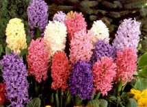 Quali bulbi piantare a maggio http