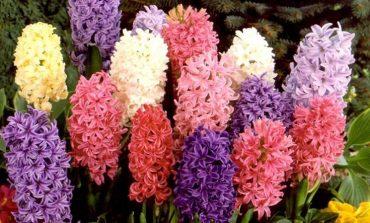 Quali bulbi piantare a maggio