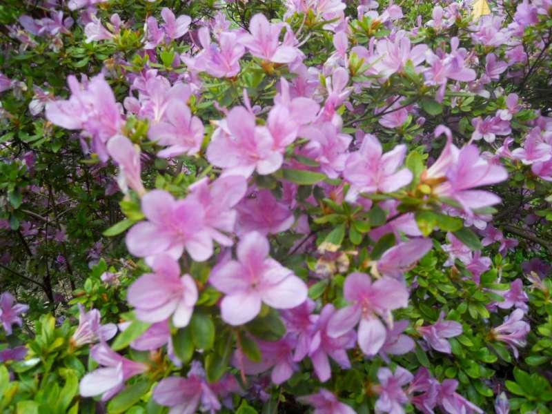 Quali fiori abbinare alle azalee