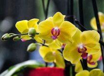 Ogni quanto tempo innaffiare le orchidee