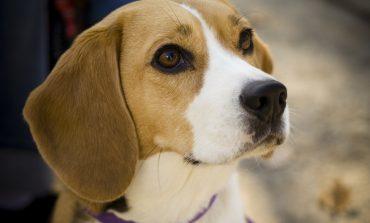 Razze più affettuose cani piccola taglia