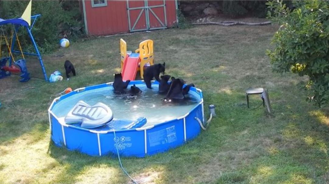 Gruppo di Orsi beccati in una piscina familiare