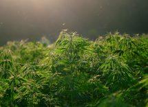 come usare la cannabis light